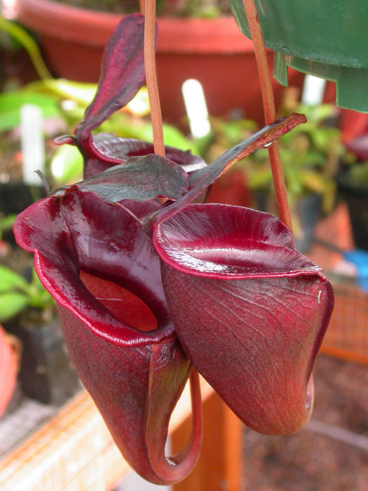 Nepenthes jacquelineae