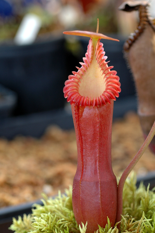 Nepenthes Highland Species For Sale