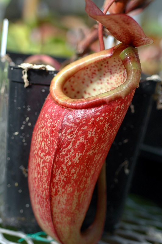 Nepenthes Lowland Species For Sale