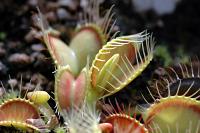 Venus Flytrap - Dionaea muscipula Burbanks Best