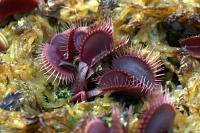 Venus Flytrap - Dionaea muscipula Petite Dragon x Petite Dragon
