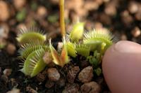 Venus Flytrap - Dionaea muscipula Pygmy Neotenic clone D