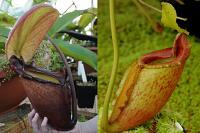 Nepenthes rajah x mira JHNH0037