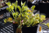 Venus Flytrap - Dionaea muscipula Typical Bare-Root Only