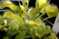 Venus Flytrap - Dionaea muscipula Grun