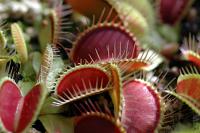 Venus Flytrap - Dionaea muscipula Clumping Cultivar