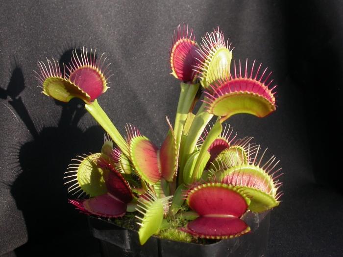 Venus Flytrap - Dionaea muscipula B52